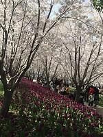Het paarse tulpenbed!!