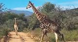 Kruger National Park - Giraffe (dag 5)
