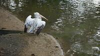 Rustende pelikaan
