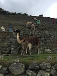 Llama moeder geeft veulen melk