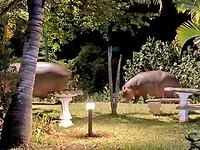 Hippo's komen in de avond grazen achter het hotel