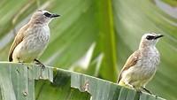 Vogels bij rijstveld