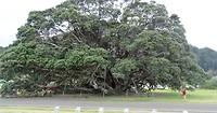 Grote boom Te Araroa