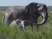 Mama met baby olifant in Etosha