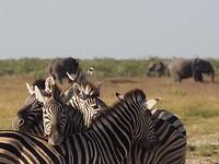 Zenra's en olifanten in Etosha