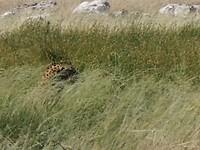 Luipaard in Etosha