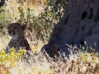 Cheeta met ban (als je heel goed kijkt rechts van nama) in Etosha L