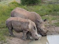 Mama met baby neushoorn op Waterberg Plateau