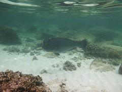 Parrotfish; deze was echt grooot!