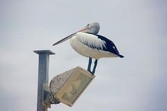Pelikanen!!