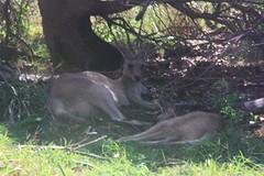 Wilde kangaroos