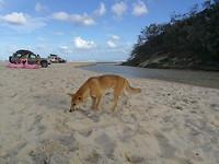 En toen stond op eens een Dingo naast me