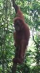 Sumatra, Bukit lawang, oerang oetan
