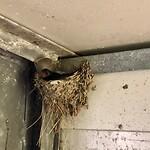 Broedende zwaluw in de vogelkijkhut