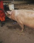 Big monastery monster pig 🐽 🥩