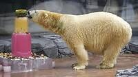IJsbeer in de Zoo