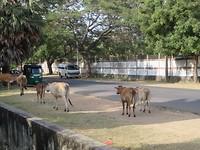 Koeien op straat