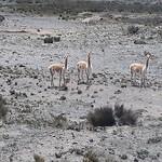 Vicuna's, soort lama, leeft op grote hoogte, niet gezien!