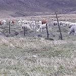 Alpaca's ook hoog in de bergen levend, gemist!