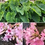 Lelies en grote bladeren plant