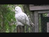 Ranua Zoo Sneeuwuil