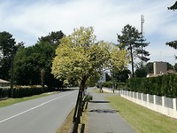 Bonte liguster als straatboompje in Salles