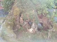 Oude walnoot stam Triacastela