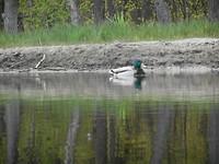 Ook de eenden geniet van de rust