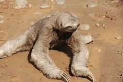 luiaard-sloth