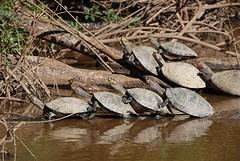 schildpadden zoeken elkaars warmte