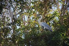 ooievaar- stork