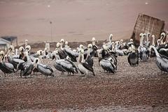 Pelikanen Paracas, Islas Ballestas