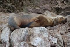 luie zeeleeuw