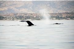 spuitende walvis