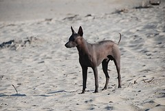 peruaanse hond