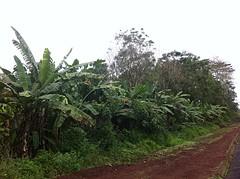 Bananenbomen Ecuador