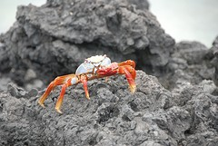 krabbetje
