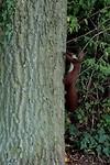 Eekhoorntje in 't Pückler park