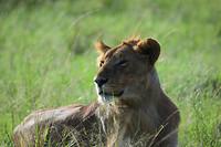 Jonge mannetjesleeuw, leider van een troep met zes vrouwtjes