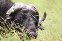 Een heel oude buffel