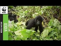 Zet De Aarde op 1 voor de berggorilla!