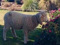 En toen hadden wij een schaap in de tuin.........(en een paar rozen minder)