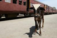 Meter-Gauge Train: En wederom staat er een koe in het beeld