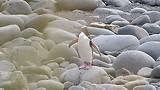 Pinguin V
