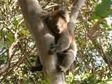 Koala beer in eucalyptusboom