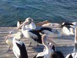 Pelikanen voeren