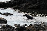 Nieuw Zeelandse zeeleeuw