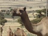 De kamelen zijn weer gearriveerd in de achtertuin