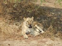 En nog een leeuw