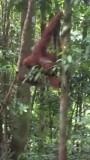 Orang oetans in de jungle